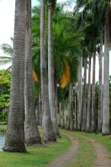Palmiers de l'habitation Clement
