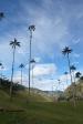 Palmiers geants