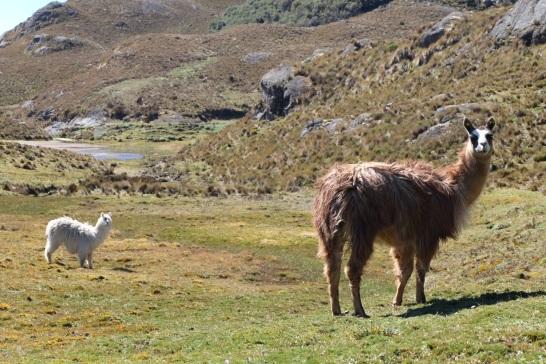Nos premiers lamas au Parc National El Cajas