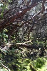 Forêt de Polylepis
