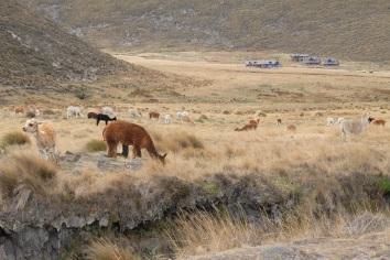 Alpages et lamas