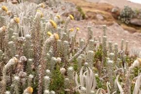Végétation du Chimborazo
