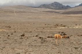 Une vigogne égarée