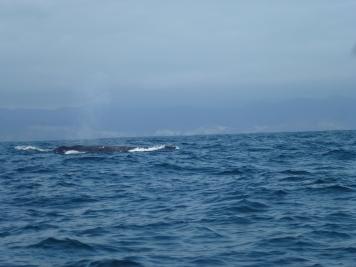Baleine à bosses près de Puerto Lopez
