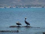 Pélicans au parc National de Machachilla