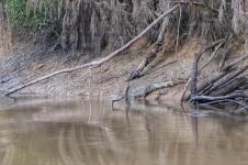 White caiman