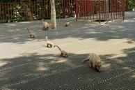 Bande de coatis