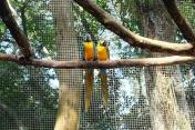 Perroquets bleus et jaunes