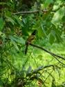 Oiseau à crête, Koh Kood