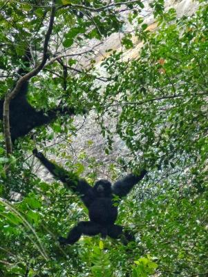 Gibbon noir, vallée d'harau