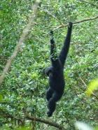 Gibbon noir