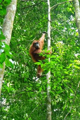 Femelle orang outan