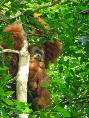 Mâle orang outan