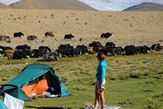 yaks sur le campement