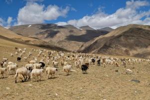 chèvres Pashmina
