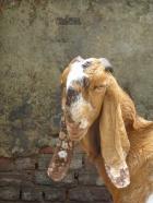 Chèvre dans la rue de New Delhi